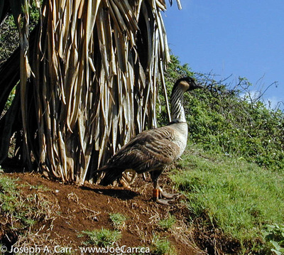 Nene goose, Kilauea Point Lighthouse