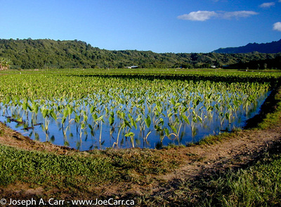 Taro fields in the Hanalei Valley