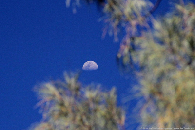 Moon through an Araucaria pine