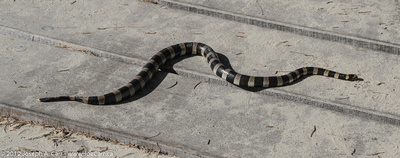 Striped Sea Snake on the dock