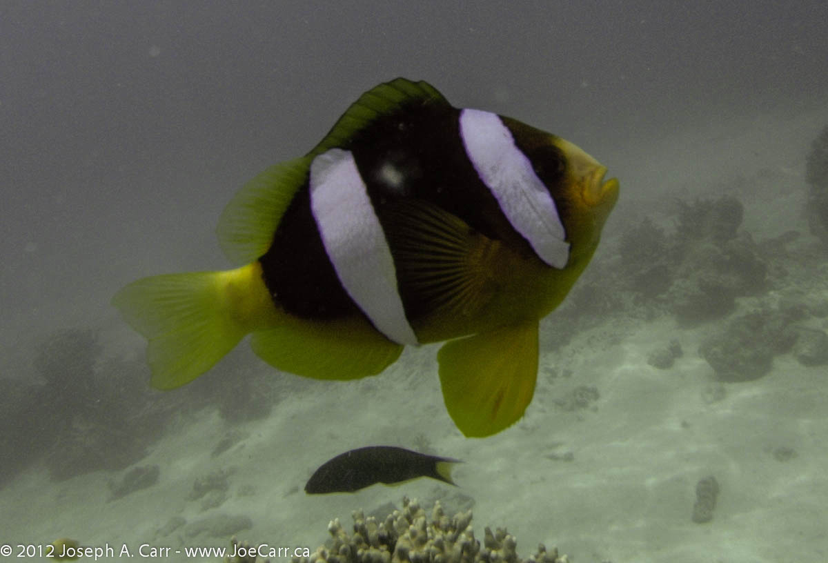 Yellow, black & white striped tropical fish
