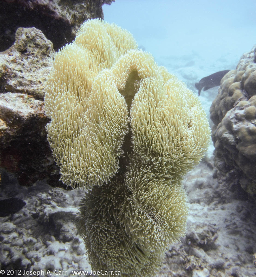 Column of yellow coral