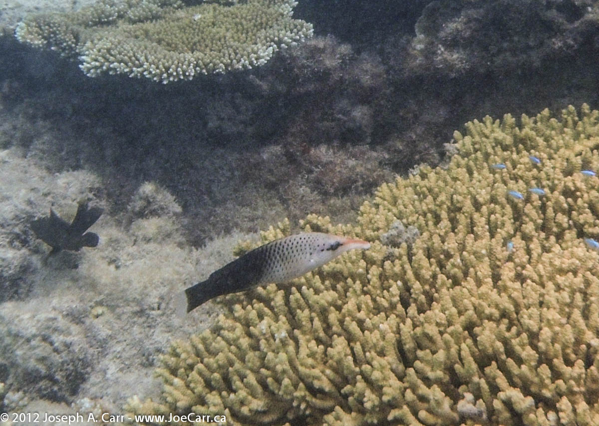 Long-nosed fish in the coral