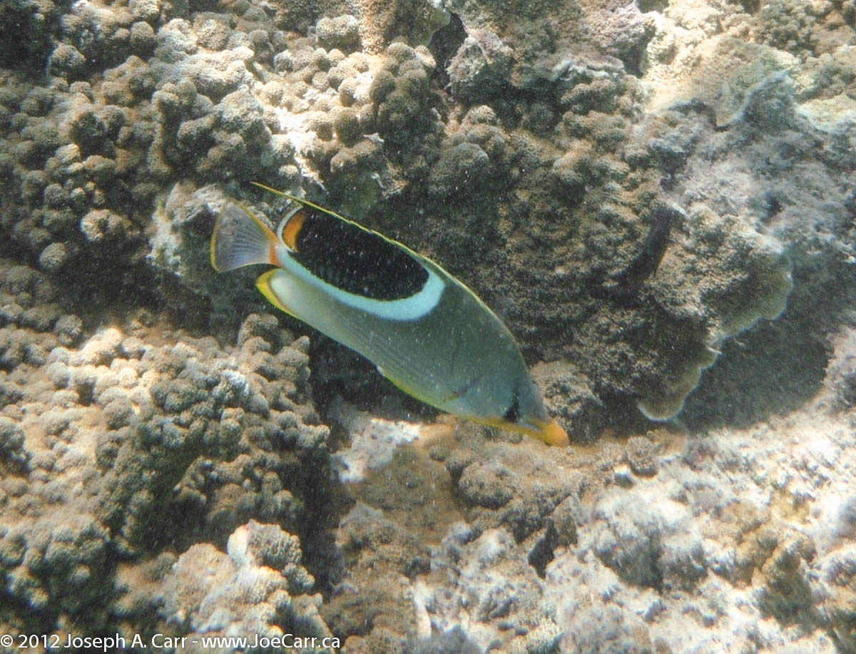 Snout nosed fish with big black spot and  coral