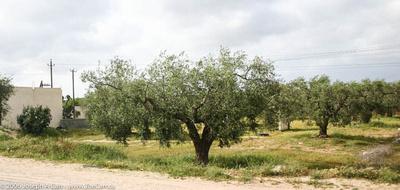Olive groves near Tripoli