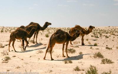 Camel herd in the Sahara Desert south of Jalu