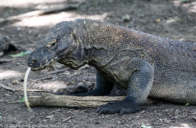 Komodo Dragon monitor lizard
