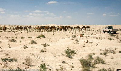 Camels being herded by a 4x4 truck in the Sahara Desert south of Jalu
