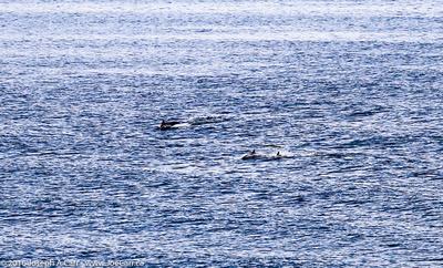 Dolphins in Slawi Bay