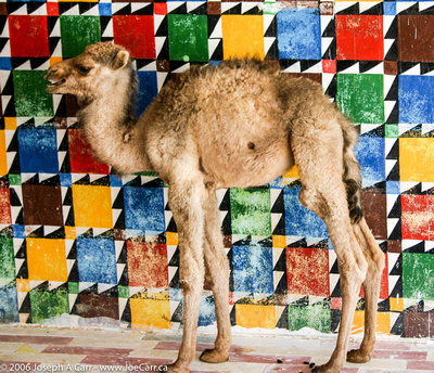 Baby camel at truck stop south of Jalu
