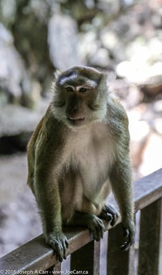 A Long-tailed Macaque monkey