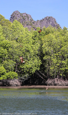 Langkawi eagle catching food in the water