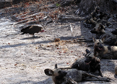 Wild Dogs and Vultures