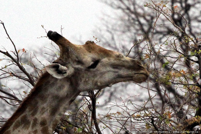Giraffe feeding on a tree