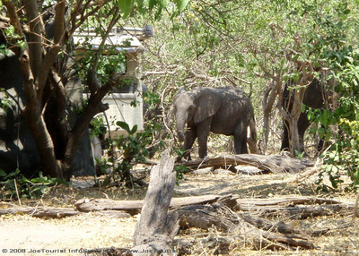 Elephants wander through the camp