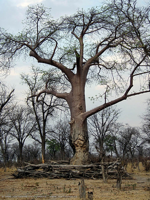 Baobab tree with elephant fence