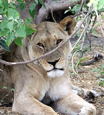 Female Lion resting in the shade of a bush