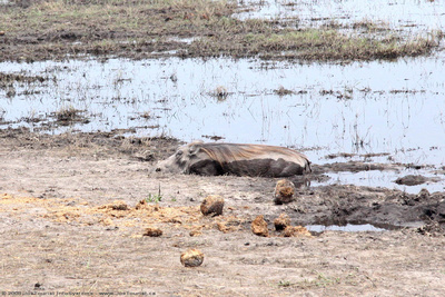 Warthog wallowing in the mud beside the Spillway