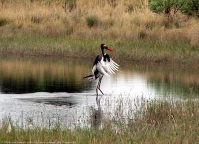 A Saddle-billed Stork landing in the spillway