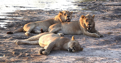 A pride of four lions resting beside a water hole