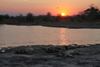 A pride of four female  lions resting beside a water hole as the sun sets