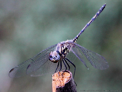 Dragonfly perched on a stick