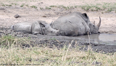 Baby White Rhinoceros and its mother at a water hole