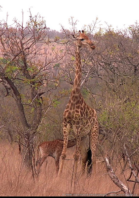 One day old baby Giraffe suckling on its mother