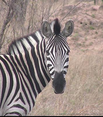 Zebra head shot