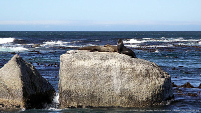 Cape Fur Seals on Duiker Island