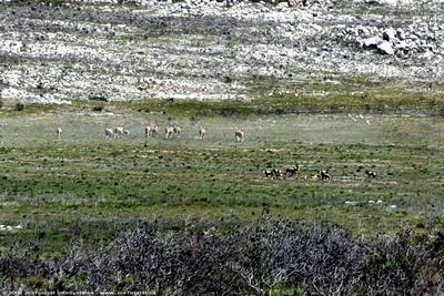 9 Eland, 6 Bontebok