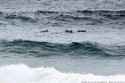 Porpoises near the surf line