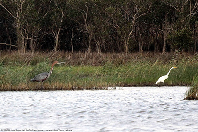 Goliath Heron & Greater Egret