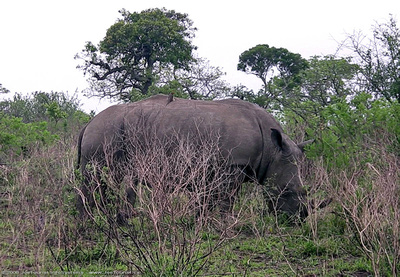 White Rhinoceros grazing beside the road