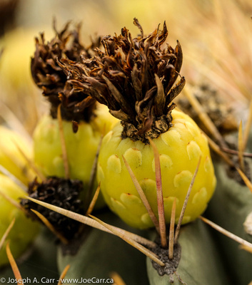 Yellow blossoms on a Barrel cactus