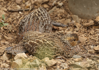 Quail having a dust bath