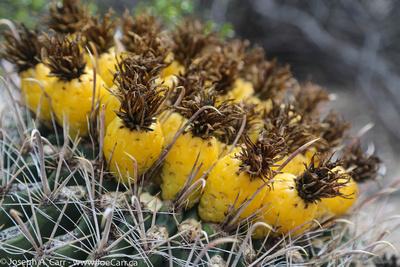 Yellow fruit on the Barrel cactus