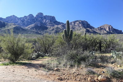 Saguaro cactus, scrub and mountains