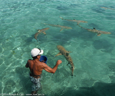 Feeding the Black-tipped sharks and Sting rays