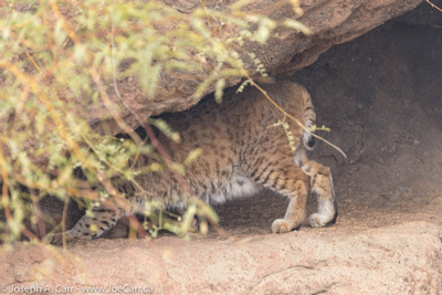 Bobcat retreating into the rocks