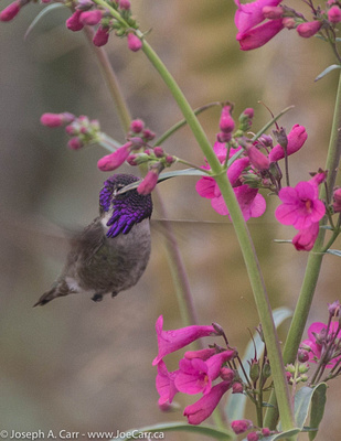 A Costa's Hummingbird sipping some nectar from a flowering bush