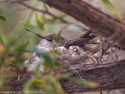 Nesting female Bumblebee Hummingbird