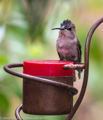 A hummingbird on a feeder