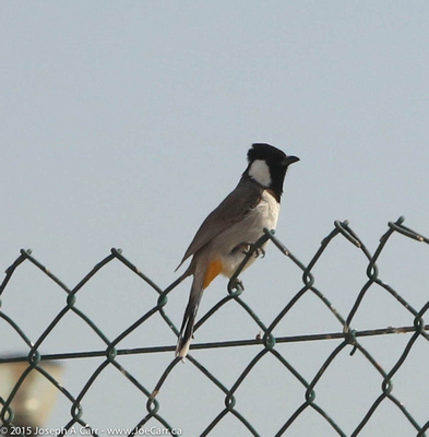 Black and white bird perched on a fence