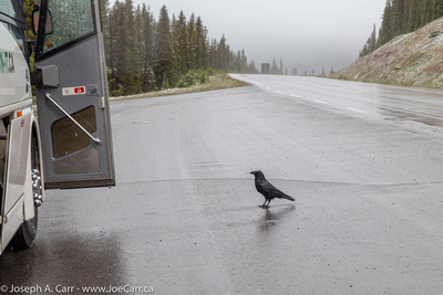 Raven near the bus at the snowy Bow Lake rest stop