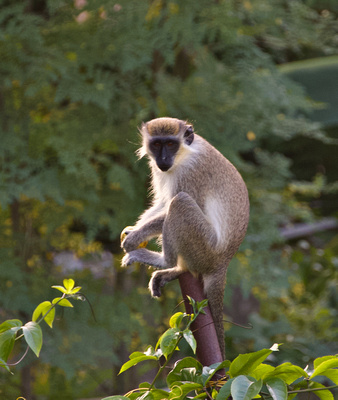 Barbados Green Monkeys roam and forage the grounds