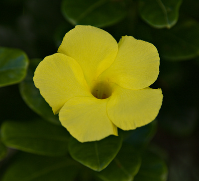Allamanda cathartica yellow flower