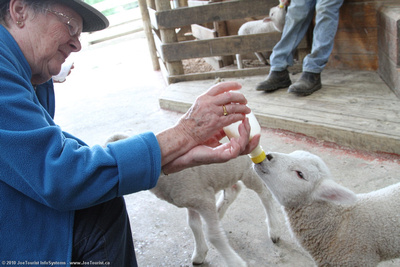 Wendy McDonald feeding a lamb