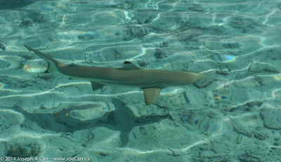 Black-tipped sharks and Sting rays