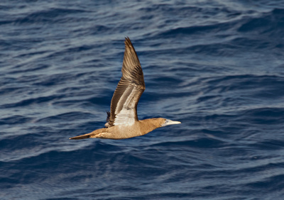 Caribbean Booby Gull in flight